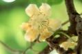 キウイの花 雌木
