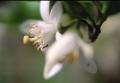 夏みかんの花