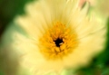 松葉牡丹 黄色
