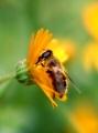 ミツバチが来てました〜